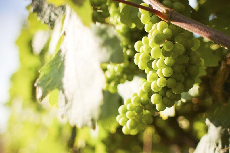 foto uvas na vinha